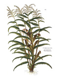 Turkish Corn, 1735 Giclee Print by Elizabeth Blackwell