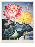 Thornton: Lotus Flower Giclee Print by Thomas Burke