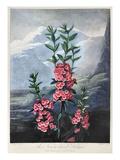 Thornton: Kalmia Giclee Print by  Caldwall