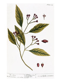 Cloves, 1735 Giclee Print by Elizabeth Blackwell
