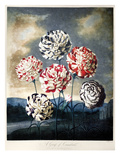 Thornton: Carnations Poster by Caldwall