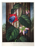 Thornton: Passion-Flower Giclee Print by  Warner