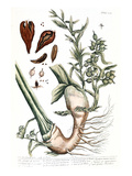 Cardamom, 1735 Giclee Print by Elizabeth Blackwell
