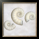 Still Life of 3 Shells Framed Photographic Print by Images Monsoon