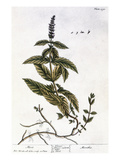 Mint Plant, 1735 Print by Elizabeth Blackwell