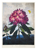 Thornton: Rhododendron Prints by Caldwall