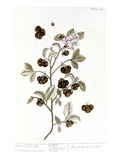 Peco Tea, 1735 Giclee Print by Elizabeth Blackwell