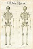 Le squelette humain (de face et de dos, en anglais) Posters