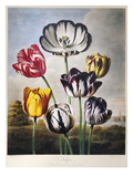 Thornton: Tulips Giclee Print by Richard Earlom