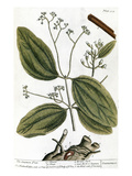 Cinnamon Tree, 1735 Prints by Elizabeth Blackwell