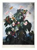 Thornton: Begonia Giclee Print by  Caldwall