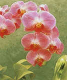 Island Orchid IV Posters by Chariklia Zarris