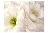 Lily Blush Prints by Christine Zalewski