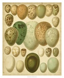 Vintage Bird Eggs II Poster