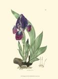 Elegant Iris I Kunstdrucke von Samuel Curtis