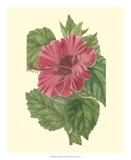 Chinese Rose Mallow Giclee Print