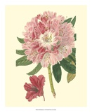 Pink Rhododendron Giclee Print