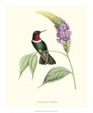 Hummingbird and Bloom II Reproduction procédé giclée par  Mulsant & Verreaux