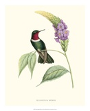 Hummingbird and Bloom II Giclee Print by  Mulsant & Verreaux