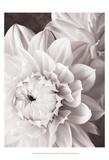 Black and White Dahlias I Kunstdrucke von Christine Zalewski