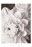 Black and White Dahlias I Prints by Christine Zalewski