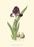 Elegant Iris III Posters by Samuel Curtis