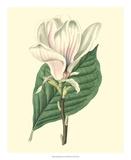 Yulan Magnolia Giclee Print