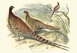 Pheasant Varieties VI Poster