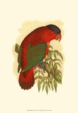 Purple-Capped Lory Print