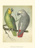 Cassell's Parrots II Prints by  Cassell
