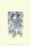 Chickadee in White Pine Posters par Janet Mandel