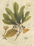 Antique Sassafras Giclee Print by  Sprague