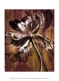 Bronze Parrot Tulip II Print by Christine Zalewski