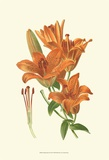 Striking Lilies II Posters by Edward Step
