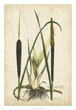 Antique Cattail I Giclee Print by Samuel Curtis