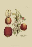 Antique Apples Prints