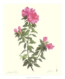 Azalea Prints by James Linton Sain