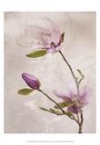 Tulip Blush I Poster by Christine Zalewski