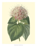 Fragrant Clerodendron Giclee Print