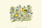 Goldfinches Posters by Janet Mandel