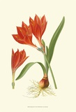 Striking Lilies IV Posters by Edward Step