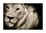 Effet de crinière (lion) Posters par Bobbie Goodrich