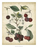 Calwer Common Cherry Giclee Print by  Calwer