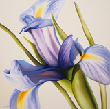 Iris Wind Prints by Carolina Alotus