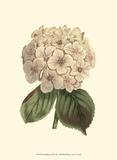Samuel Curtis - Pastel Blooms III - Reprodüksiyon