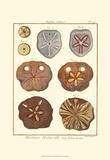Sand Dollars II Prints by Diderot
