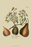 Antique Pears Posters