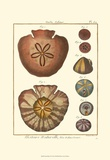 Sand Dollars IV Prints by Diderot 