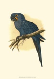 Hyacinthine Macaw Posters