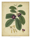 Engelmann Botanical IV Prints by  Engelmann